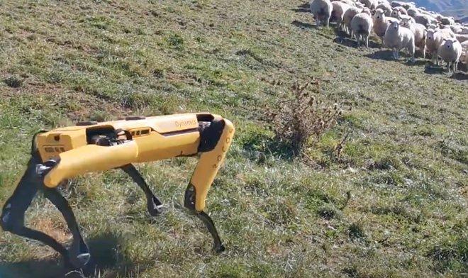 Лучшие новости о роботе Spot, который пасет овец в Новой Зеландии