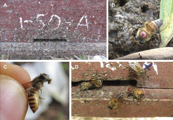 Лучшие новости о Азиатских пчелах замеченных за использованием орудия труда