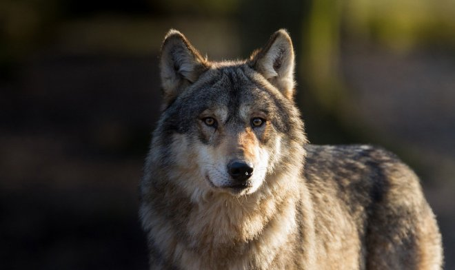Лучшие новости о волчьем самосознание, которое становили ученые из Томска