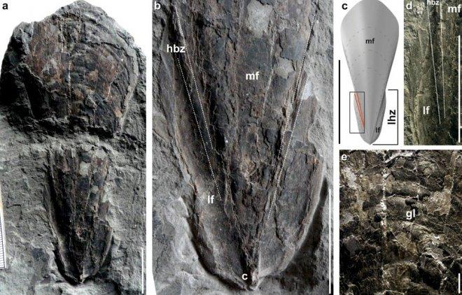Лучшие новости о древних кальмарах-вампирах, переживших катастрофу, которая способствовала гибели динозавров