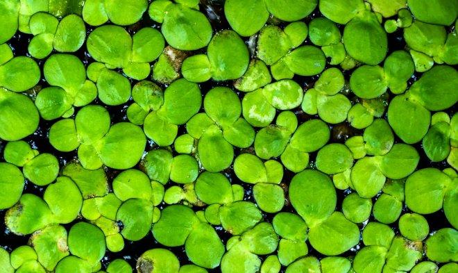 Лучшие новости о создании суперурожайных культур, с помощью самого быстрорастущего растения в мире.