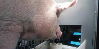 Лучшие новости о свиньях, которые научились играть в видео игры пятачком