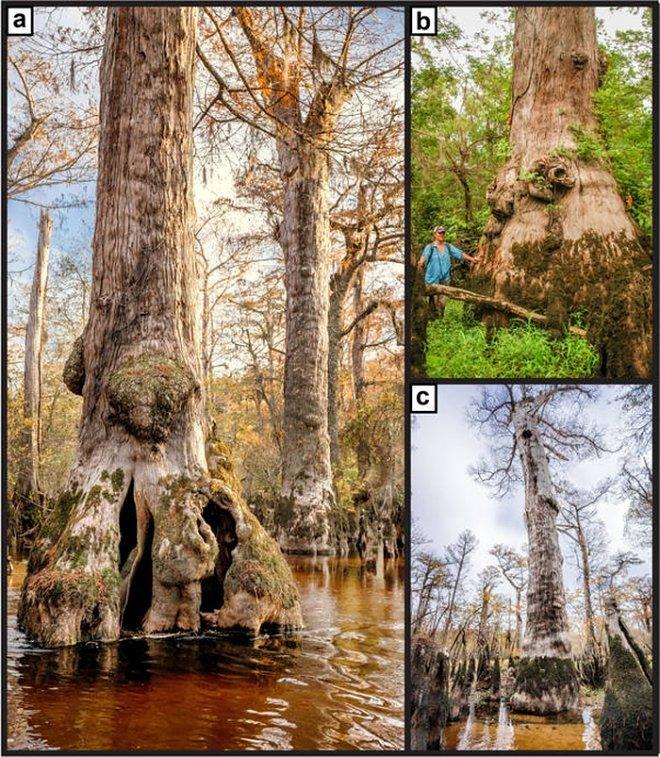 Лучшие новости о древнейшем дереве в Северной Америке