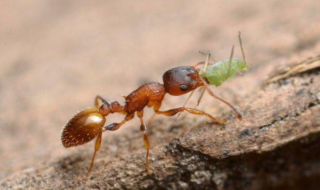 Лучшие новости: внутренние паразиты муравьев