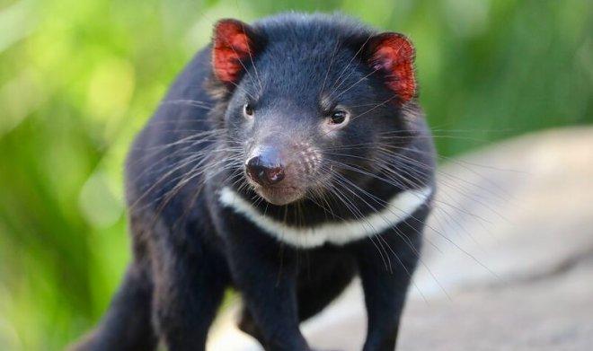 Лучшие новости о восстановлении популяции тасманского дьявола