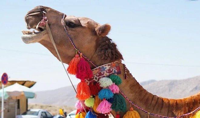 Лучшие новости: как верблюды обходятся без воды